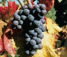 Svatováclavské vinobraní